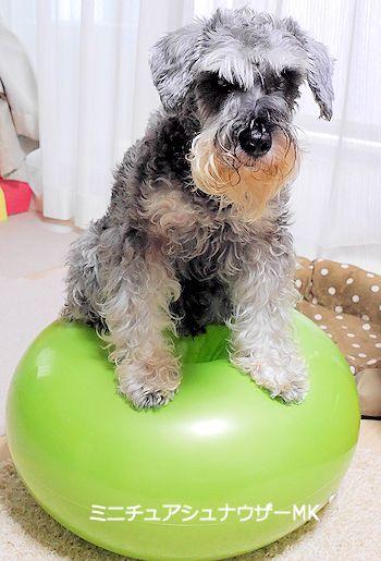 バランスボールに座る犬