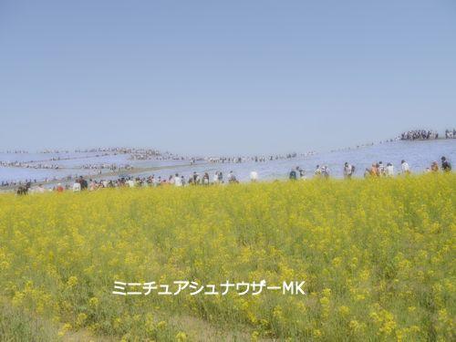 ネモフィラ菜の花